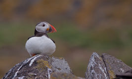 Puffin ( Fratercula arctica ) on a rock Stock Photography