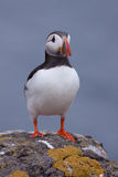 Puffin ( Fratercula arctica ) on a rock. A Puffin ( Fratercula arctica ) on a rock Royalty Free Stock Photography