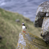 Puffin Fratercula arctica, RUNDE, Norway royalty free stock image