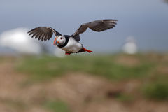 Puffin, Fratercula arctica. Single bird in flight, Northumberland, May 2014 Royalty Free Stock Photos