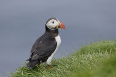 Puffin, Fratercula arctica. Single bird on grass, Orkney, June 2014 Royalty Free Stock Photo