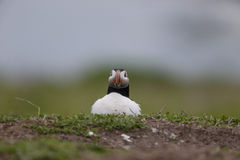 Puffin, Fratercula arctica Royalty Free Stock Images