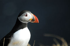 Puffin Fratercula arctica in Vik i Myrdal, Iceland Royalty Free Stock Image