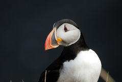 Puffin Fratercula arctica in Vik i Myrdal, Iceland Royalty Free Stock Photos