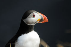 Puffin Fratercula arctica in Vik i Myrdal, Iceland Stock Image