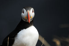 Puffin Fratercula arctica in Vik i Myrdal, Iceland Stock Photography