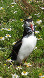 Atlantic Puffin with glaseels in daisy field on Skomer island Royalty Free Stock Photos