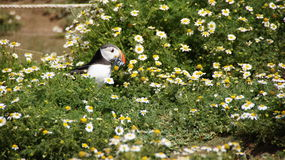 Puffin with glaseels in daisy field with  on Skomer island Royalty Free Stock Photos