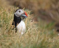 Puffin in grass Royalty Free Stock Photos