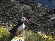 Puffin on grass with flowers at Latrabjarg Bird Cliffs stock images