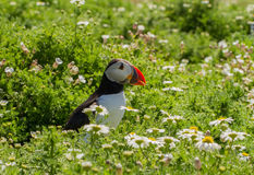 Puffin in grass with spring flowers Royalty Free Stock Image