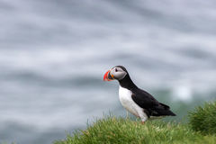Puffin on a grassy cliff, Iceland , Iceland Stock Photo