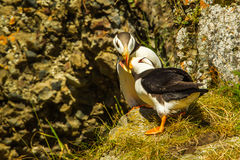 Puffin Greeting. Mated Pair Of Horned Puffins Exhibiting Bonding Behavior Royalty Free Stock Image