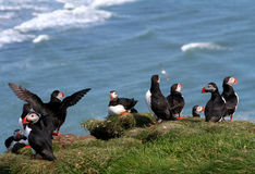 Puffin group Stock Image