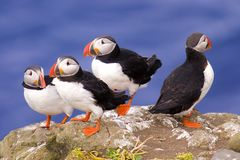 Puffin group Royalty Free Stock Photography