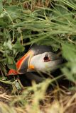 Puffin hiding in its burrow Royalty Free Stock Photography
