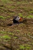 Puffin in a hole. Stock Photography