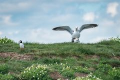 Puffin humour. Awkward moment when a puffin looks away from two gulls mating. Farne Islands, May royalty free stock images