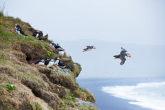 Puffin, Iceland. Puffin on a grassy cliff, sea as background, Iceland Royalty Free Stock Images
