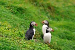 Puffin, Iceland. Puffins on the hill, Iceland Royalty Free Stock Images