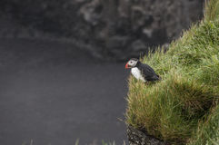 Puffin. Icelandic Puffin on a cliff in rain Stock Photos