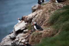 Puffin on Icelandic Cliffside Stock Photos