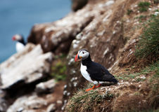 Puffin on Icelandic Cliffside Royalty Free Stock Photos