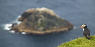 Puffin and island landscape in Shetland. Scotland. UK Stock Photography