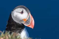 Puffin isolated on a beautiful day in North Iceland Stock Images