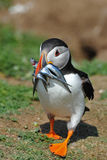 Puffin with its catch of the day Royalty Free Stock Image