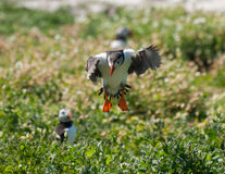 Puffin landing Royalty Free Stock Photos