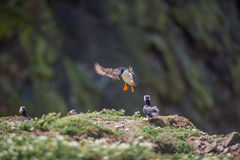 Puffin landing with fish Stock Photos