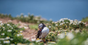 Puffin landing with fish Stock Photo