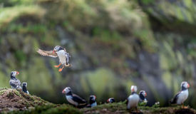Puffin landing with fish stock image