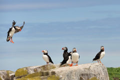Puffin Landing on Rocks Stock Image