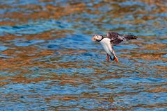 Puffin landing on water in brittany France. Sept iles stock images