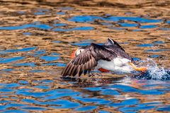 Puffin landing on water in brittany France. Sept iles royalty free stock image