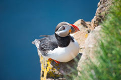 Puffin in Latrabjarg cliffs Royalty Free Stock Photography
