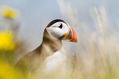 Puffin Royalty Free Stock Photo