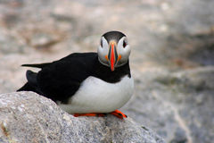 Puffin Looking at You. A beautiful puffin posing and looking at your while relaxed on a rock Stock Photography