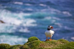 Puffin on a lookout. Atlantic Puffin standing on a cliff on Shetland Islands, UK Stock Image