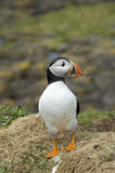 Puffin, Lunga. Puffin in May with pieces of dried grass for nest building on Lunga, Treshnish Isles, Scotland Stock Photo