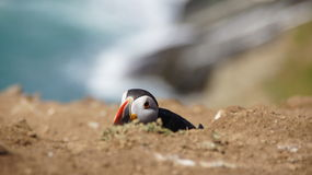 Atlantic puffin lying on the Wig of Skomer island Royalty Free Stock Photos