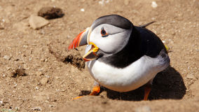 Puffin with mud in beak on Skomer island Stock Photography