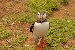 Puffin near burrows   fratercula arctica Royalty Free Stock Image