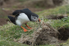 Puffin nest building Royalty Free Stock Photos