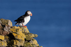 Puffin with a nice background Stock Images