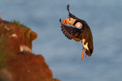 Puffin with a nice background Stock Photo