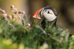 Puffin with a nice background Royalty Free Stock Photography