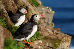 Puffin with a nice background Royalty Free Stock Photo